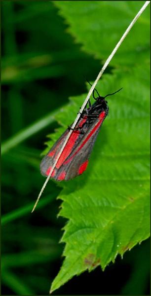 Cinnabar Moth-Tyria jacobaeae. by Badgerfred