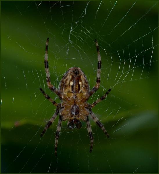 Garden Spider-araneus diadematus. by Badgerfred