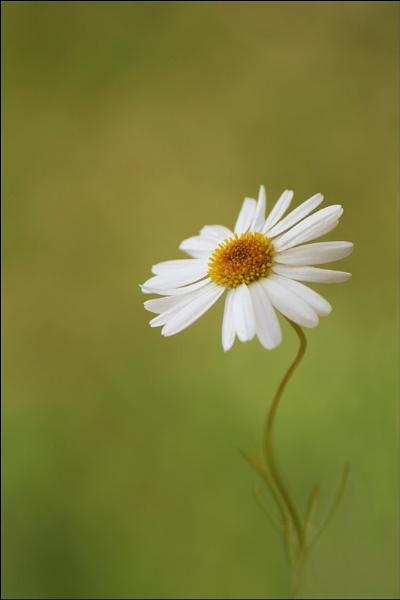 Pretty as a Daisy ... by Traceyflowerpots