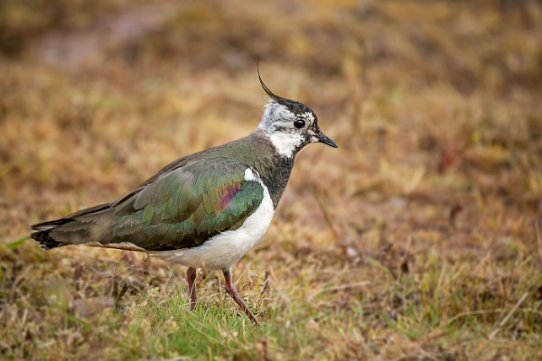 Lapwing Adult by mikepearce