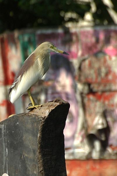 Pond Heron, Kerala. by TonyDy