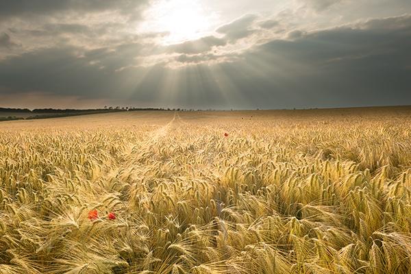 Wheat Fields by banny