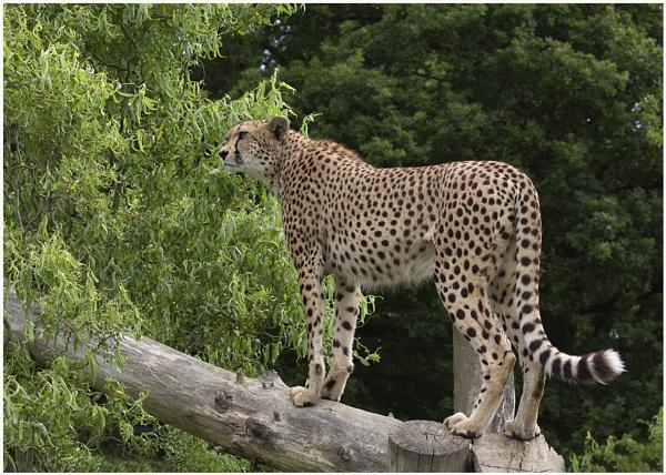 Cheetah called Mia by Lillian