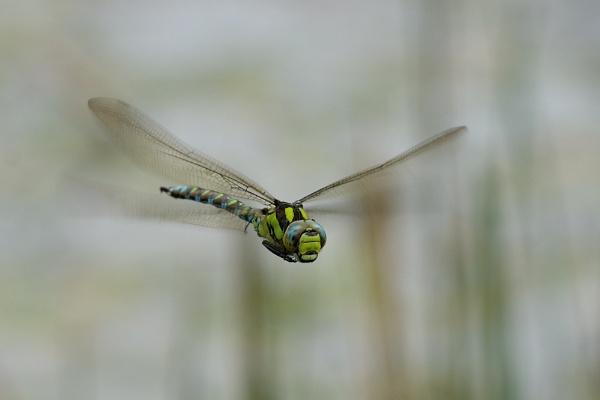 Dragon flight by saltholme