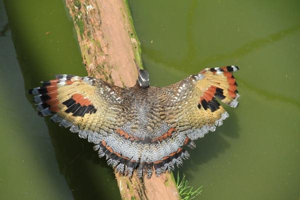 Butterfly Bird ???????? Help please by bobsblues