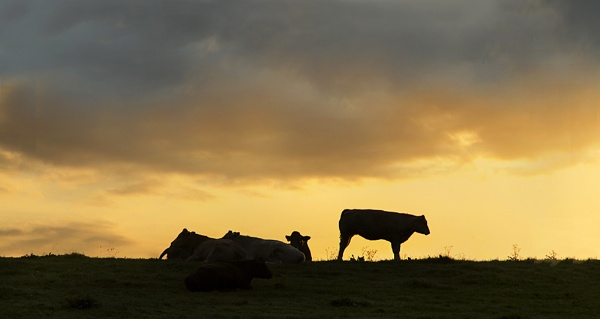 Cattle at Dawn by Irishkate
