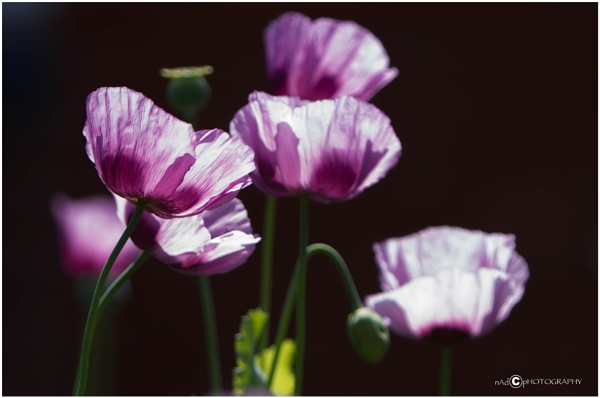Poppies in the light by NDODS