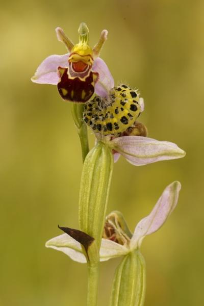 6 Spot Burnett Caterpillar in a Bee Orchid by pmeswani