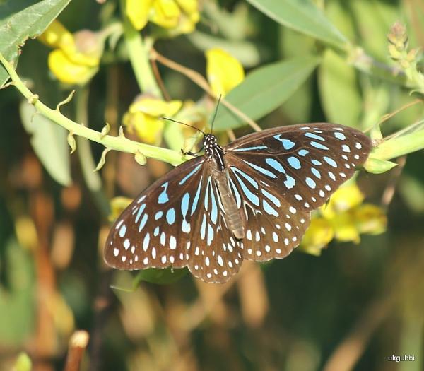 """BF \"""" Blue Tiger\"""" by ukgubbi"""