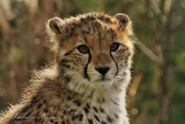 Cheetah by Tricabella