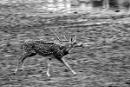 Spotted deer by bommalu