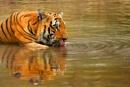 Thirsty Tiger-1 by bommalu