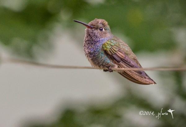 Hummingbird by Zerstorer
