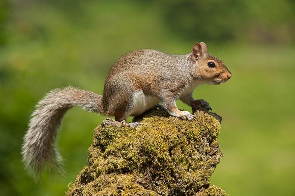 Grey Squirrel by geoffrey baker