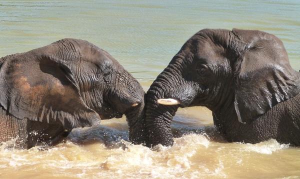 Elephant Head-to-Head by jms