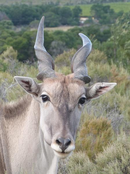 Kudu by jms