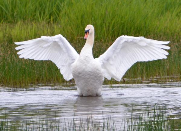Swan by KenQuinn