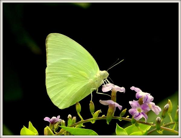 Butterfly by IshanPathak