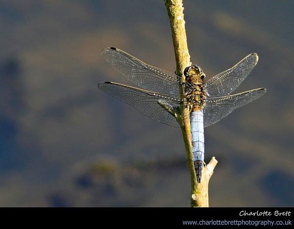 Black-Tailed Skimmer by ChazB
