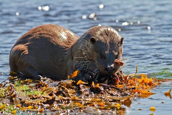 Hebridean Sea Otter by JohnoP