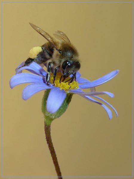bee on felicia by CarolG