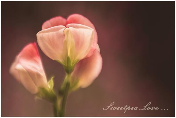 Sweepea Love ... by Traceyflowerpots