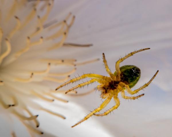 Spider by Osool