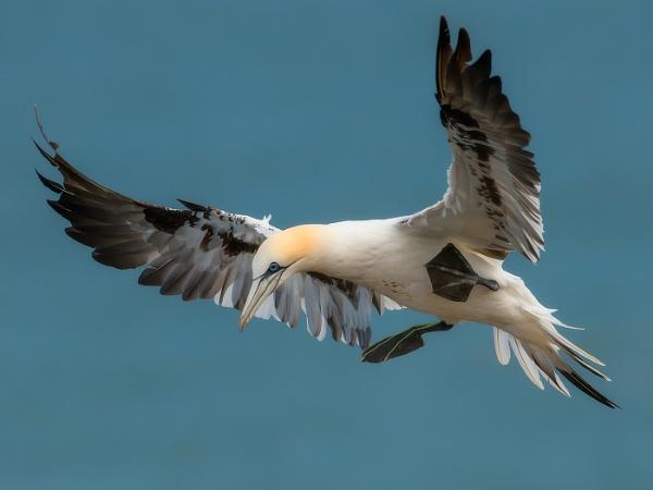 Bempton gannet by Kruger01