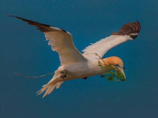 Nest Building Gannet by Kruger01