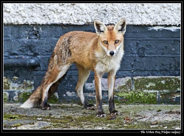 The Urban Fox (Vulpes vulpes) by Ray42