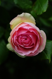 To compare thee to a rose...