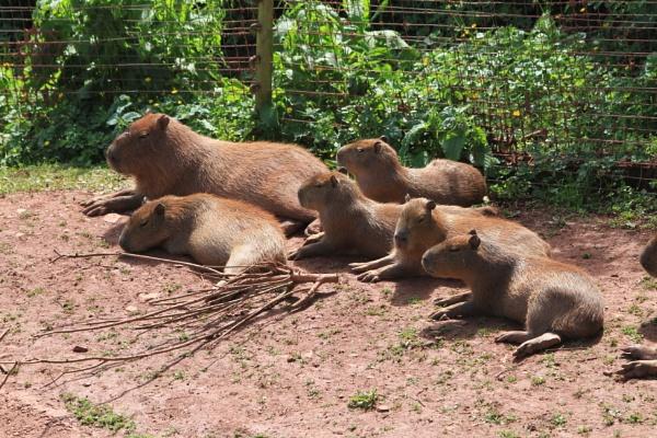 Capybara by bobsblues