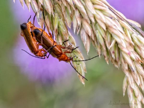 Soldier Beetles by Alan_Baseley