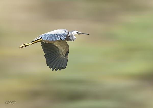 Waikawa heron 0917 by paulknight