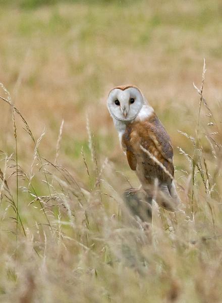 Barn Owl by Maccas