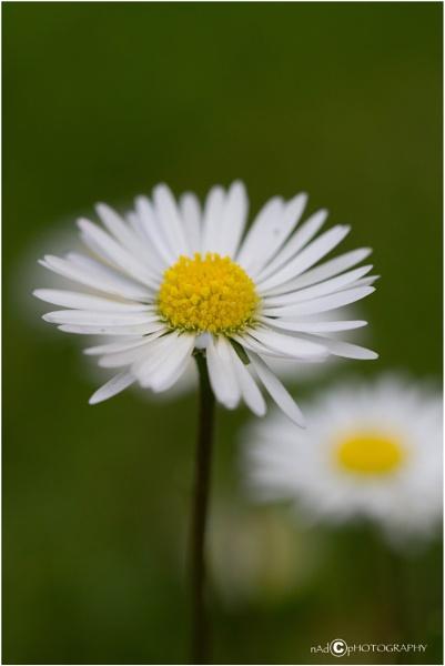 Daisy by NDODS
