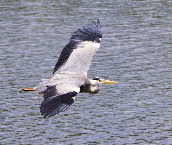 Heron in flight by Belleyeteres