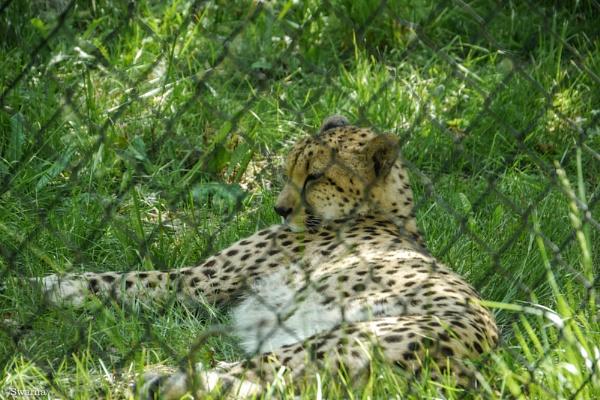 Cheetah by Swarnadip