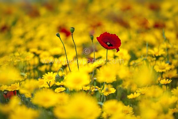 Field Poppies by jackyp