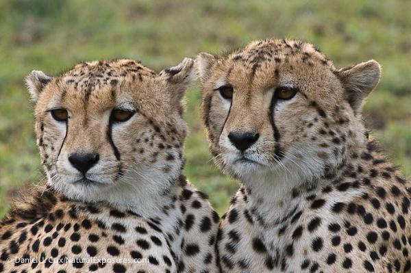 D153904 Cheetah Pair by danieljcox