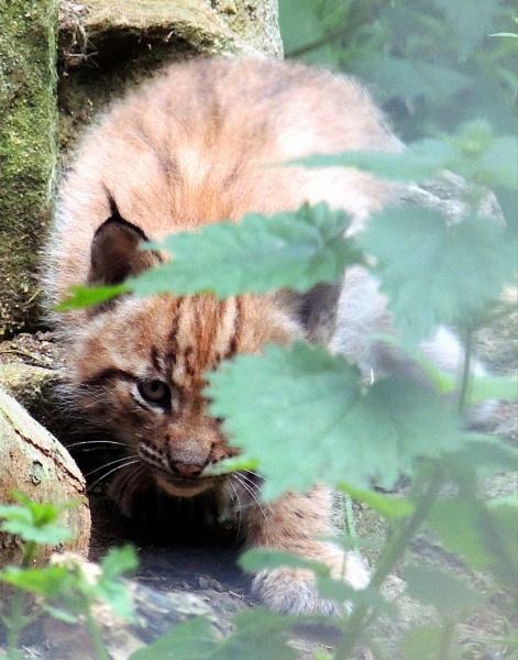 Lynx cub by kathrynlouise