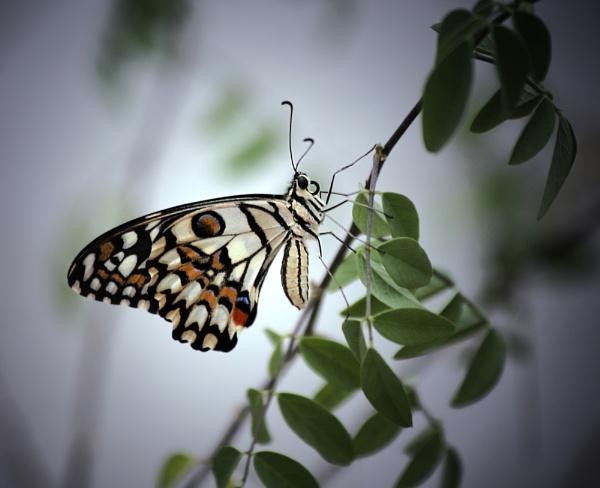 BF Citrus Swallowtail by ukgubbi