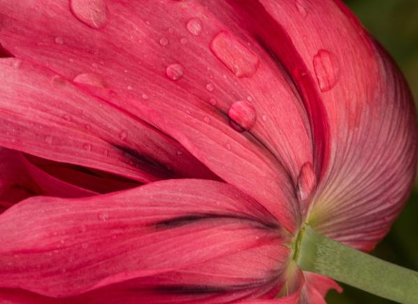Fresh Pink by WeeGeordieLass