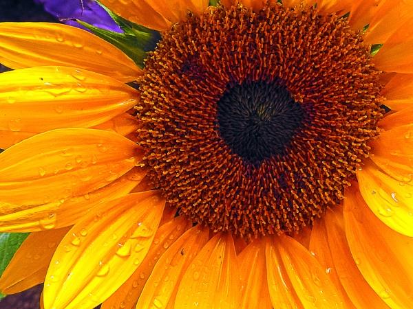 938-nice sunflower by binder1