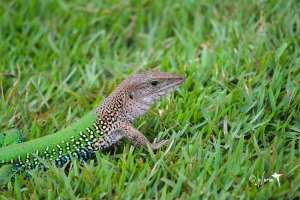 Green Lizard by Zerstorer