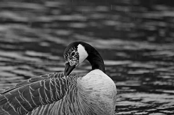 Wet Goose by diehard4
