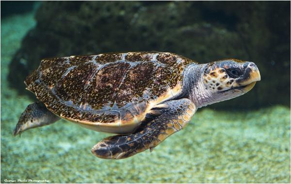 Sea Turtle by GeorgePlatis