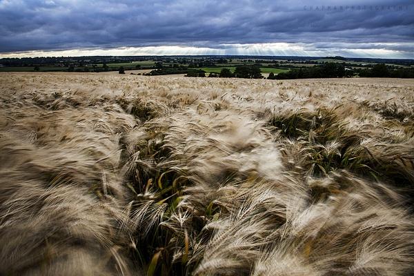 Wheat Field by john64