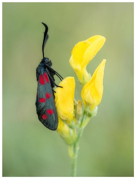 Six-spot Burnet Moth... by Greyheron