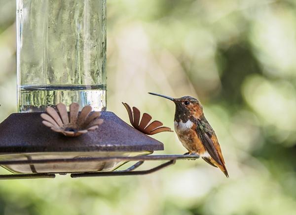 Hummingbird by Ycmah